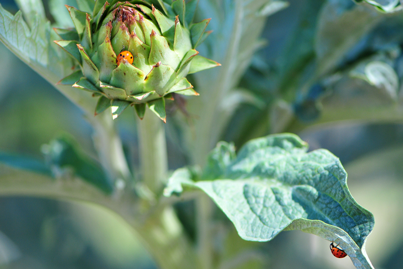 artichokeladybugs