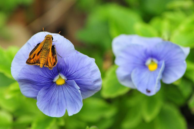 orangebfly