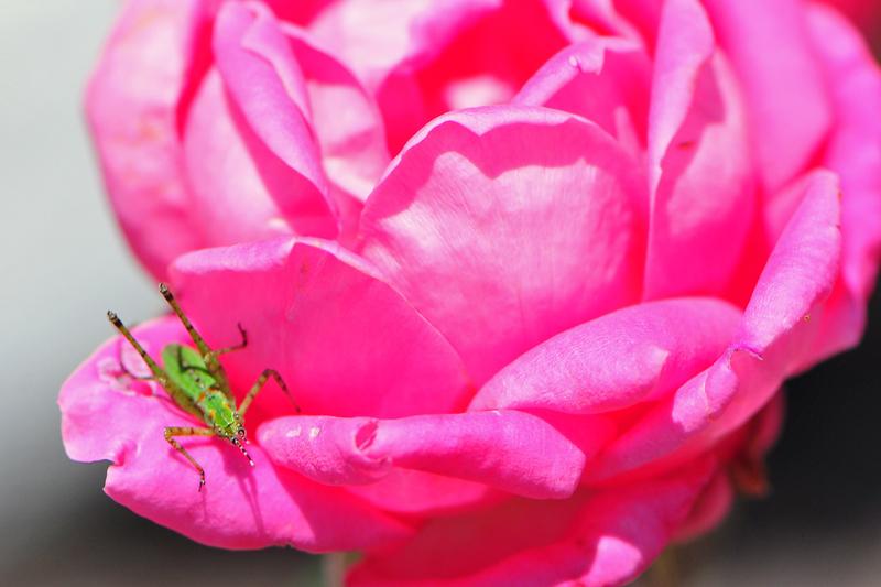 rosehopper
